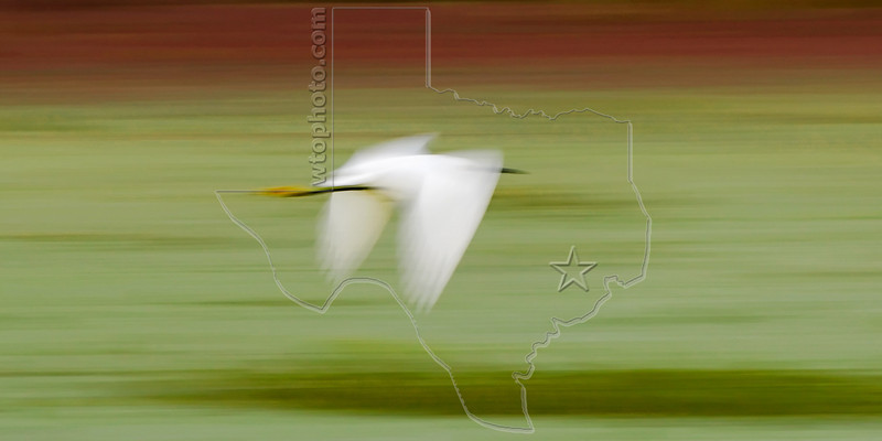 Snowy Egret, Flight;<br /> Brazos Bend State Park, Texas