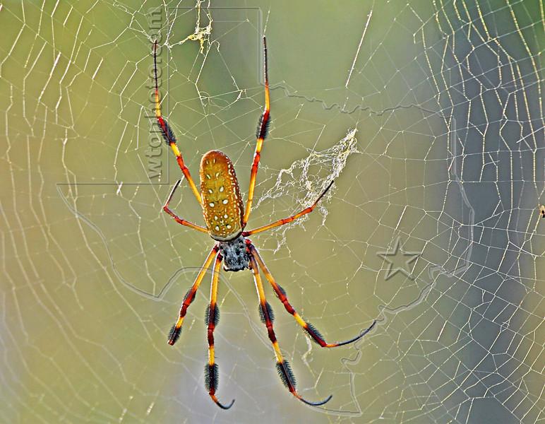 Golden Silk Orb-Weaver Spider,<br /> Brazos Bend State Park, Texas