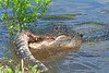 American Alligator, Eating an Alligator,<br /> Tail Seaprated from Body,<br /> Brazos Bend State Park, Texas
