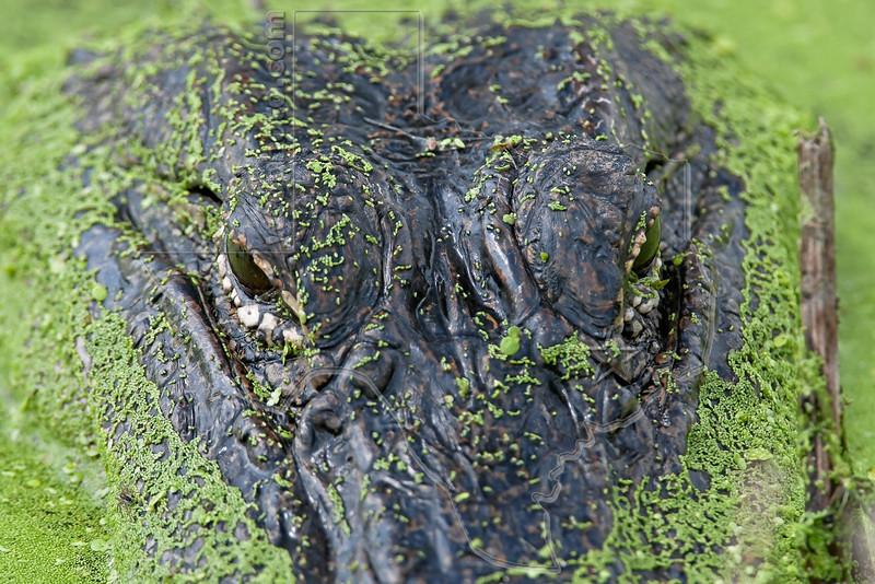 American Alligator, <br /> Brazos Bend State Park, Texas