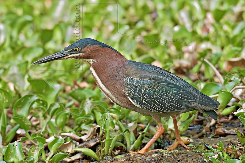 Green Heron,<br /> Brazos Bend State Park, Texas