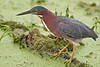 Green Heron,<br /> Brazos Bend State Park, Texas