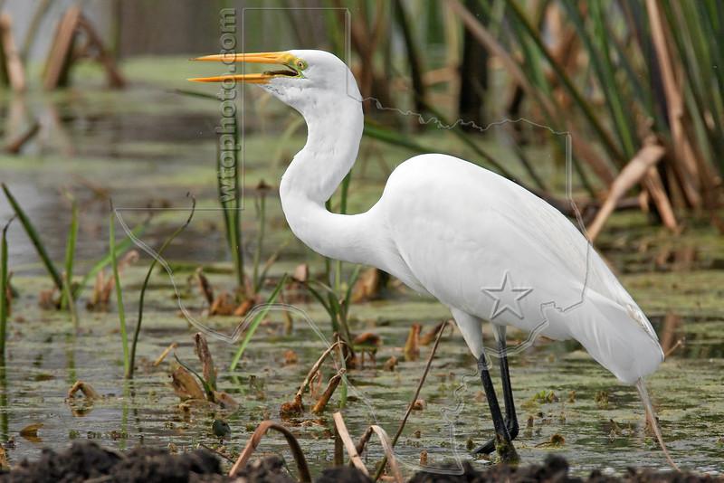 White Egret,<br /> Brazos Bend State Park, Texas