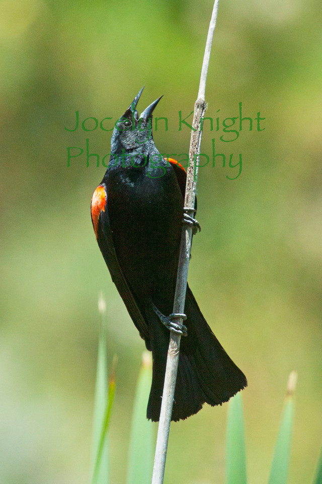 Red-wingedBlackbird6088