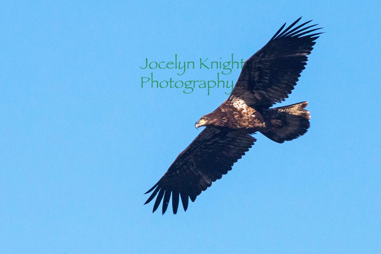 Eagle8373