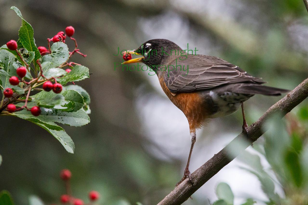 Robin4678