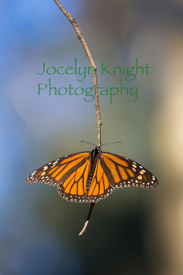 Monarch4497