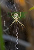 Silver Banded Garden Spider3952-ACR-2014DT