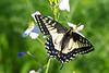 AniseSwallowtail8117