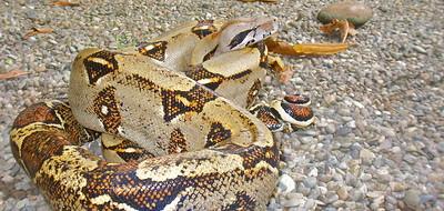 Boa Constrictor