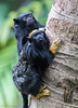 Red-handed Tamarin