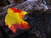 Autumn red maple leaf on Log
