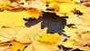 Maple leaves on macadam - Coopersburg, PA