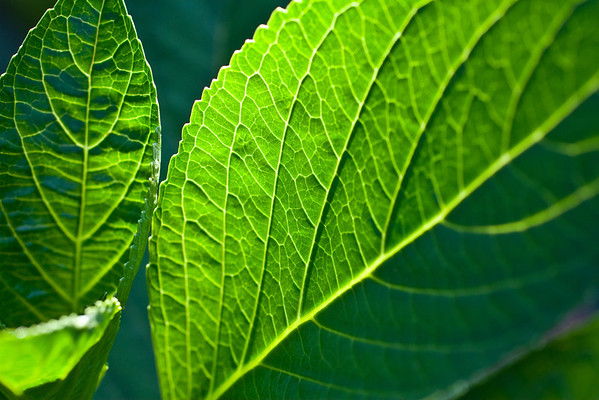 Leaf Detail (1 of 1)