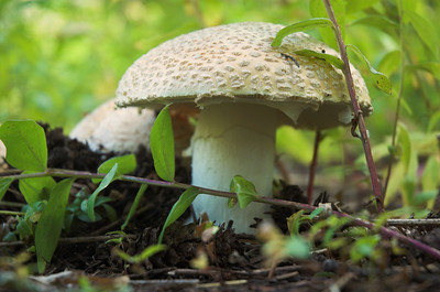 Mushroom at Albion Basin, Utah