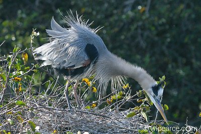 This is the look you get when you try to nest too close to Momma Blue Heron.  Momma is not tolerant at all!  I think I've seen that look before...   At Wakodahatchee Wetlands.