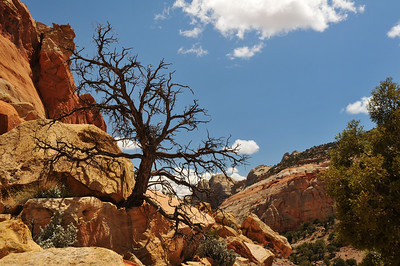 Dead Pinyon Pine at Capitol Reef National Park, Utah