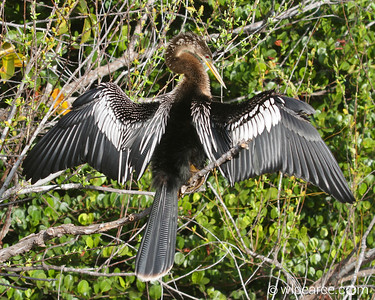Anhinga posing.  Shark Valley, Everglades Get notifications via:
