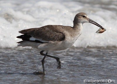 Willet (and sand flea lunch) Get notifications via:
