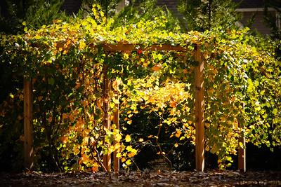 Morning Light on Grape Vines