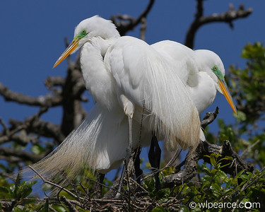 Great Egrets nesting.