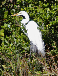 Sporting breeding plumage.  Great Egret.  Shark Valley, Everglades