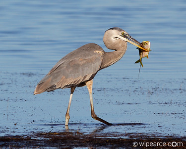 Yummy!  Late afternoon Jack snack at Merritt Island National Wildlife Reserve.  Biolab Road.