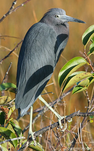 A Little Blue Heron just after dawn along the Shark Valley road, Everglades.