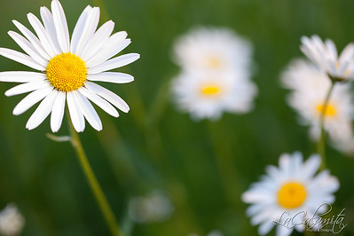 Close up view of Oxeye Daisies in natural light with a shallow depth of field.