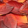 heap of red leaves. close up