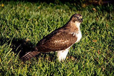 Hawk in Universal City, Texas, holding lunch under his talons