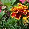 I love the contrast of these Bright Red and Yellow Marigolds.