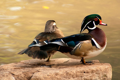 Wood Ducks at Landa Park, New Braunfels, Texas