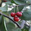 Dacha - Poliyova, Ukraine - cherries