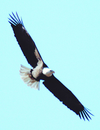 Globe/T. Rob Brown<br /> An eagle flies over a wooded area in Stella on Saturday afternoon, Jan. 24, 2009, during the Missouri Department of Conservation Eagle View.
