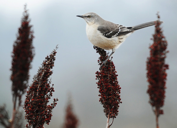 A mockingbird rests on sumac near the Trailhead Terrace at the Wildcat Glades Conservation & Audubon Center Saturday afternoon, Dec. 14, 2013.<br /> J-Mag | T. Rob Brown