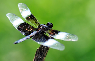 Globe/T. Rob Brown A variety of dragonfly, commonly called a widow skimmer, sits on a stick, intended to hold a fishing pole, seeming to watch the many children during the annual Kids Fishing Day Saturday morning, June 9, 2012, at Kellogg Lake in Carthage.