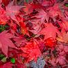 Fall Leaves 2019-12