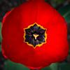 Tulips 2015-1
