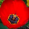 Tulips 2015-15