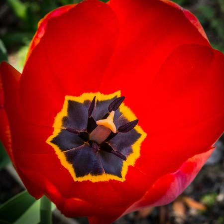 Tulips 2015-7