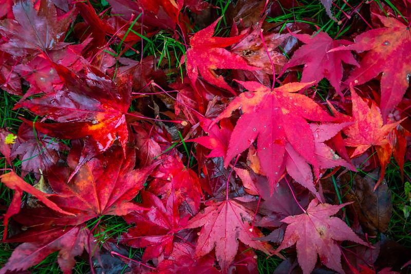 Fall Leaves 2019-7