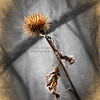 Fall Thistle
