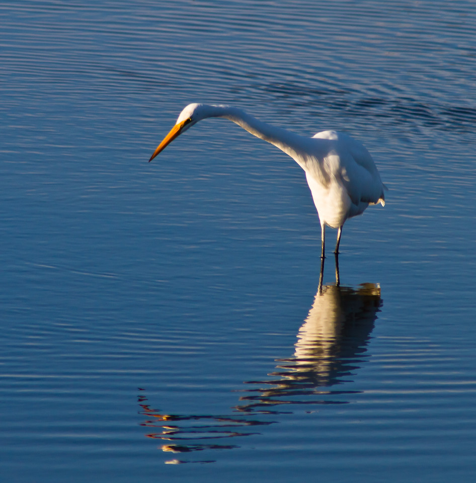 An egret, looking for his next meal in the Bolsa Chica wetlands of Huntington Beach, California.