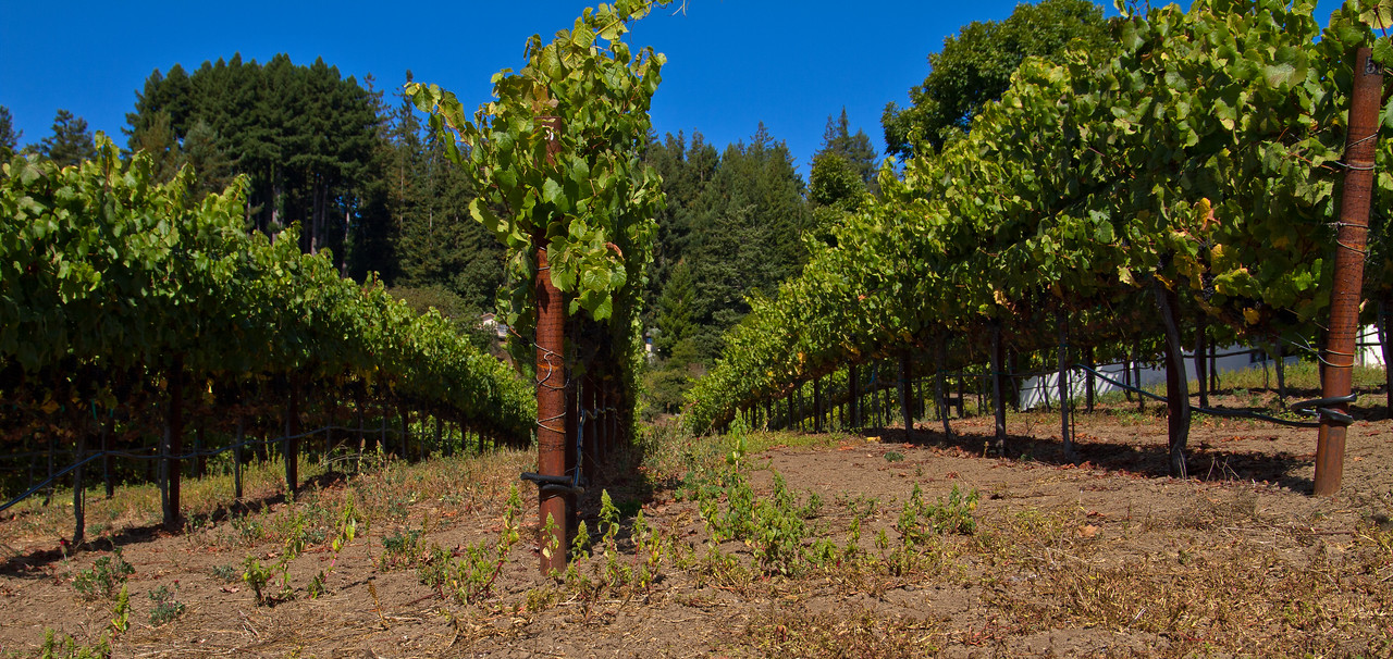 Really solid vineyard/canopy management at Soquel Vineyards, Santa Cruz AVA