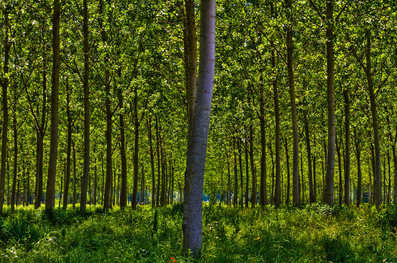 A stand of poplar trees in Asti, Monferrato, Piemonte, Italia. If you're on a Windows-based machine, you may want to hit the f11 key, for better viewing. Feel free to increase the size to X2 or bigger. One of my best selling prints has nothing to do with wine, go figure.