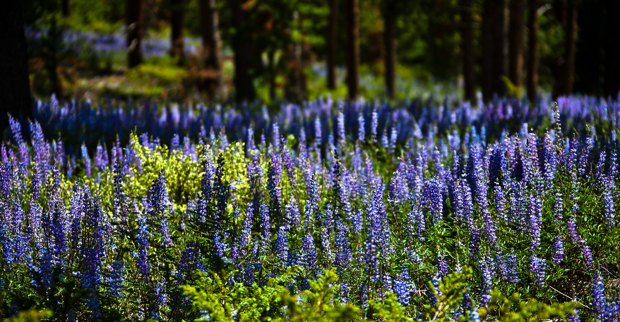 The family (dog included) packed up the car and headed up to Tabernash, Colorado for a week of hot tubs, long walks and plenty of naps. The lupine were absolutely going nuts - not usually the case at the end of June, but this year's late, long and wet spring created the exception. - all images are handheld, a little too much wind for a tripod. Besides, I was there to relax, not work at anything