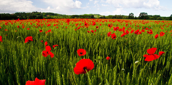 A field of poppies (they're everywhere-except hillsides, that is) in Asti, summer 2011