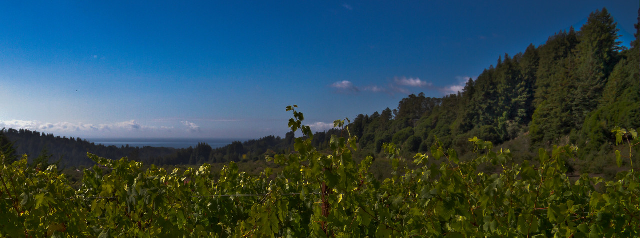 the Pacific Ocean can be seen in the distance. Taken at Soquel Vineyards, Santa Cruz AVA