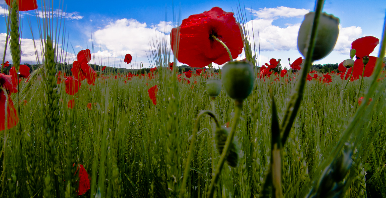 Just one of the hundreds, probably thousands, of poppy, or papavero, in Italian, fields. Taken in Asti, early May 2011.